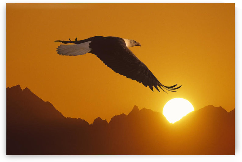 Bald Eagle In Flight Sunset Over Mtn Composite by PacificStock