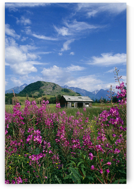 Old Cabin W/ Fireweed Summer Sc Ak by PacificStock