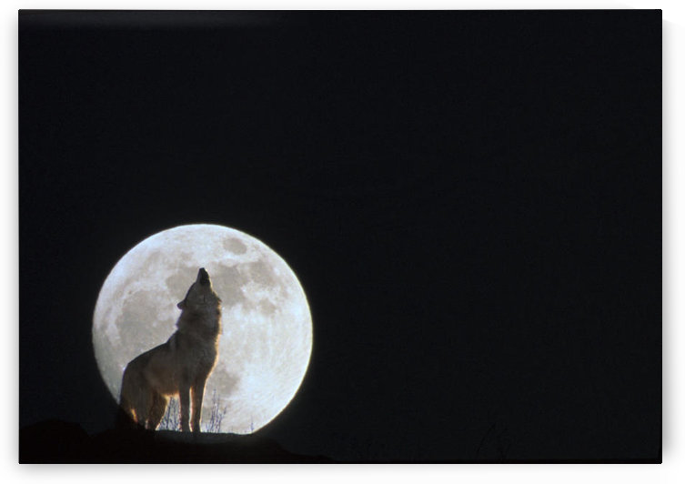 Wolf Howling At Full Moon/Ncaptive. Composite by PacificStock