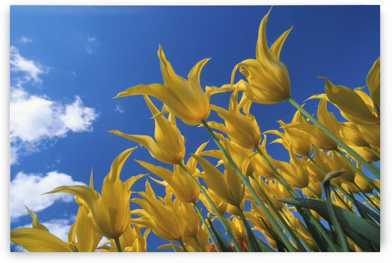 Yellow Tulips Against Blue Sky Skagit Valley Washington Summer Portrait by PacificStock