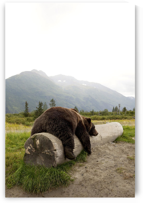 Captive Adult Brown Bear Rests On A Log At The Alaska Wildlife Conservation Center, Southcentral Alaska by PacificStock