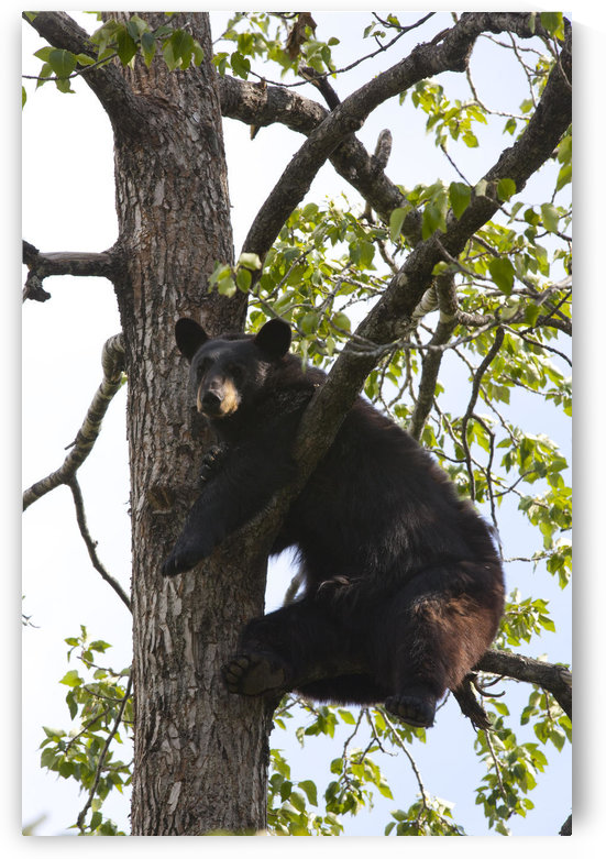Captive Black Bear In A Cottonwood Tree At The Alaska Wildlife Conservation Center, Near Portage, Southcentral Alaska by PacificStock