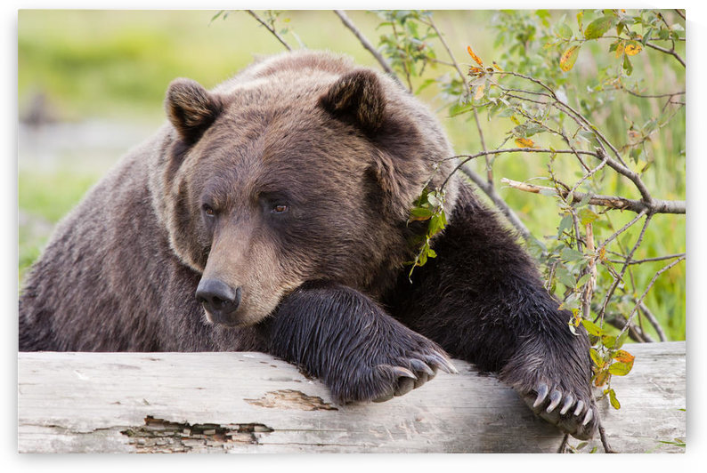 A Female Brown Bear Lays Draped Over A Log, Alaska Wildlife Conservation Center, Southcentral Alaska, Summer. Captive by PacificStock