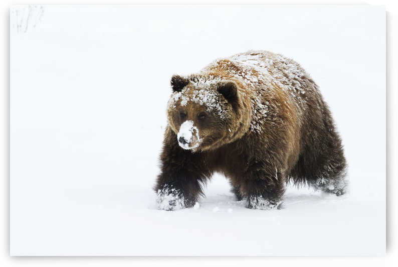 Captive: Small Female Grizzly, Alaska Wildlife Conservation Center, Southcentral Alaska, Winter by PacificStock