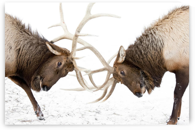 Captive: A Pair Of Large Rocky Mountain Elk Lock Antlers And Fight, Alaska Wildlife Conservation Center, Southcentral Alaska, Winter by PacificStock