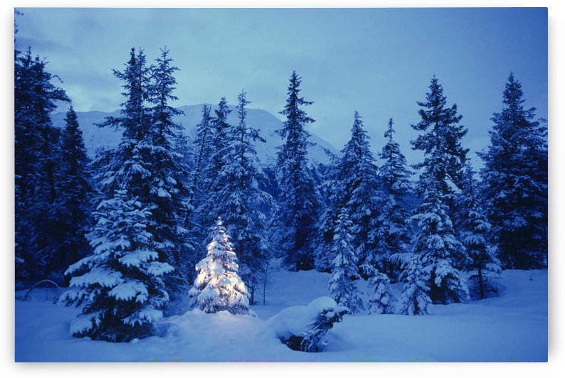 Spruce Tree In Forest With Christmas Lights Ak Winter by PacificStock