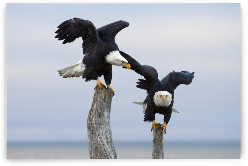 Two Bald Eagles Perched On Driftwood Near Homer, Alaska, Kenai Peninsula, Winter by PacificStock