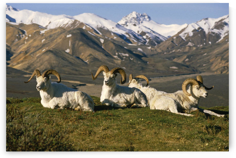 Group Of Dall Sheep Rams On Ridge Polychrome Pass In Ak Summer Denali Np by PacificStock