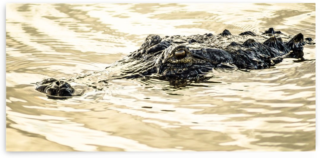 Golden Hour Gator by Melody Rossi