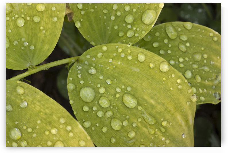Close Up Of Water Droplets On Green Leaves, Southcentral Alaska by PacificStock