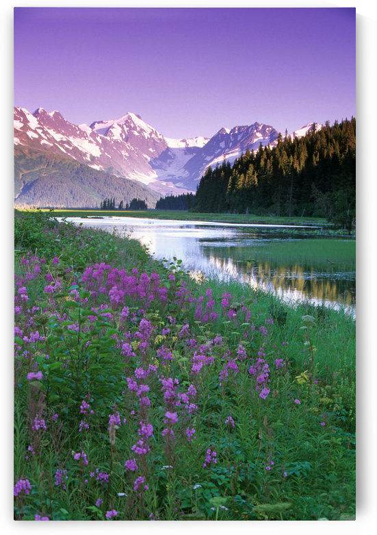 Fireweed In Bloom Along Pond W/Chugach Mtns Sc Ak Summer by PacificStock