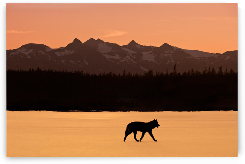 Silhouette Of A Wolf Walking At Sunset, Tongass National Forest, Southeast, Alaska by PacificStock