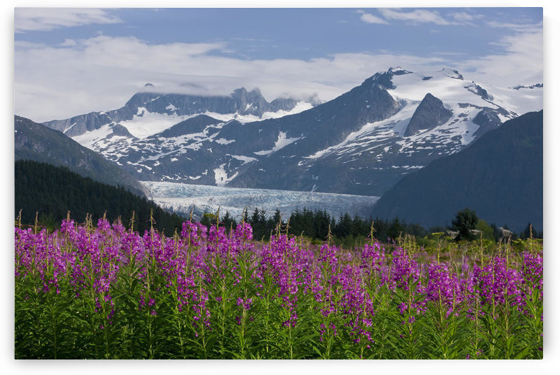 Scenic View Of Mendenhall Glacier With Fireweed In The Foreground, Tongass National Forest In Southeast Alaska During Summer by PacificStock