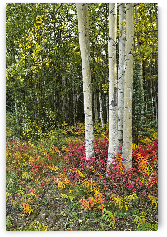 Colorful View Of Aspen Tree Trunks And Fall Foliage On The Kenai Pennensula In Southcentral, Alaska by PacificStock