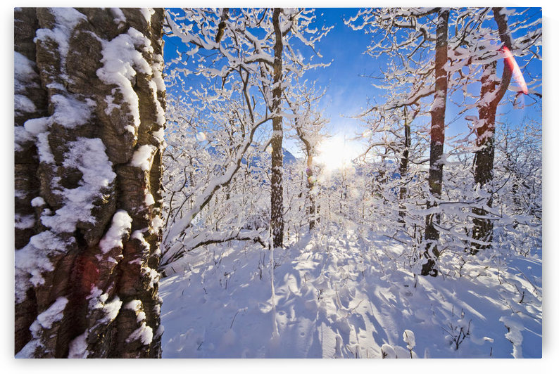 Detail Of Snow Covered Cotttonwoods During Winter In Artic Valley, Alaska by PacificStock