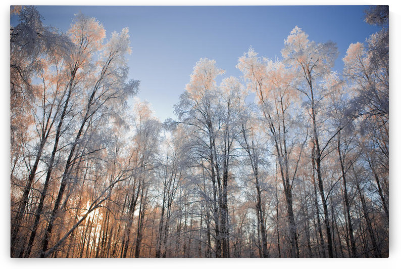 Sunset Light Shining Through Hoarfrost Covered Birch Trees In Russian Jack Park, Anchorage, Alaska. by PacificStock