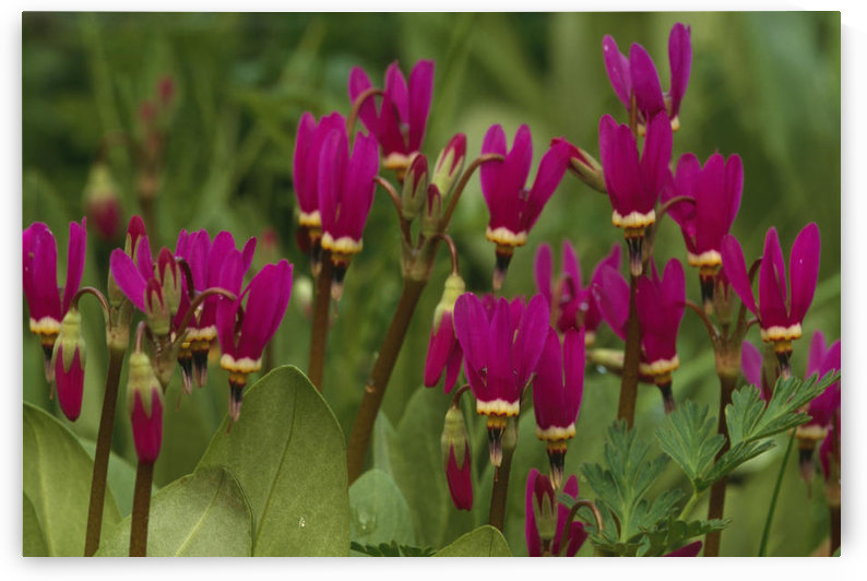 Shooting Star Wildflowers On Prince Of Wales Is Se Ak Summer Tongass Nf by PacificStock