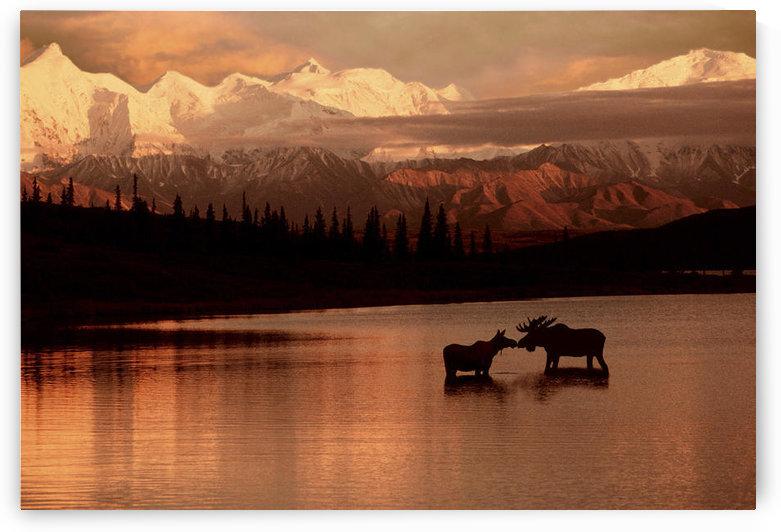 Moose Kissing In Wonder Lake Denali Np Digital Composite by PacificStock