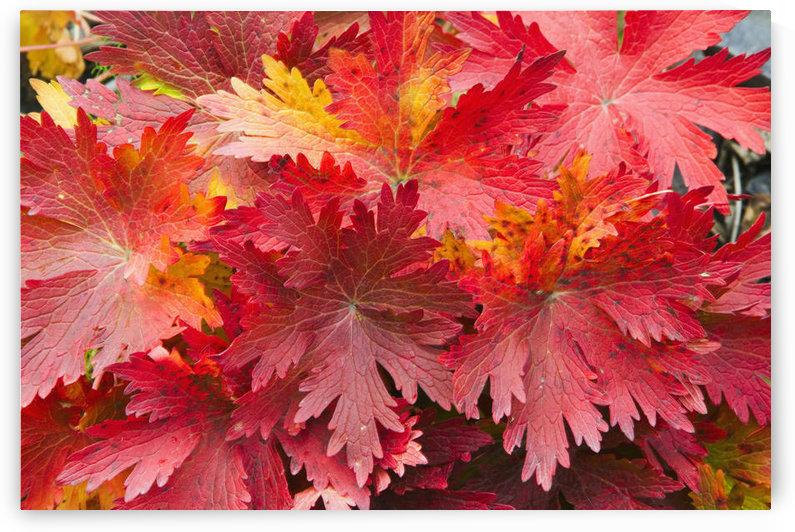Closeup Detail Of Autumn Foliage Kodiak Island Southwest Alaska by PacificStock