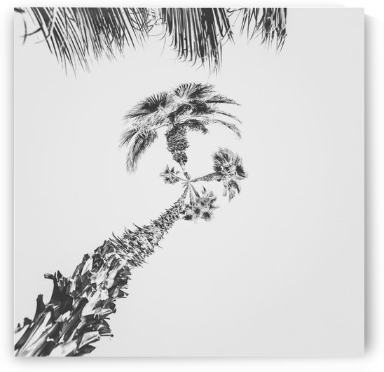 palm tree with clear sky background in black and white by TimmyLA