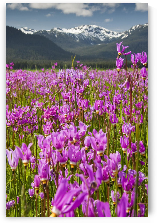 A Large Field Of Shooting Stars Bloom In Mendenhall Valley, Near Juneau, Southeast Alaska, Summer by PacificStock