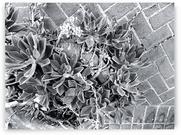 succulent plant with brick floor background in black and white by TimmyLA
