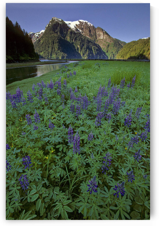 Field Of Lupine & Rudyerd River Misty Fjords Monument by PacificStock