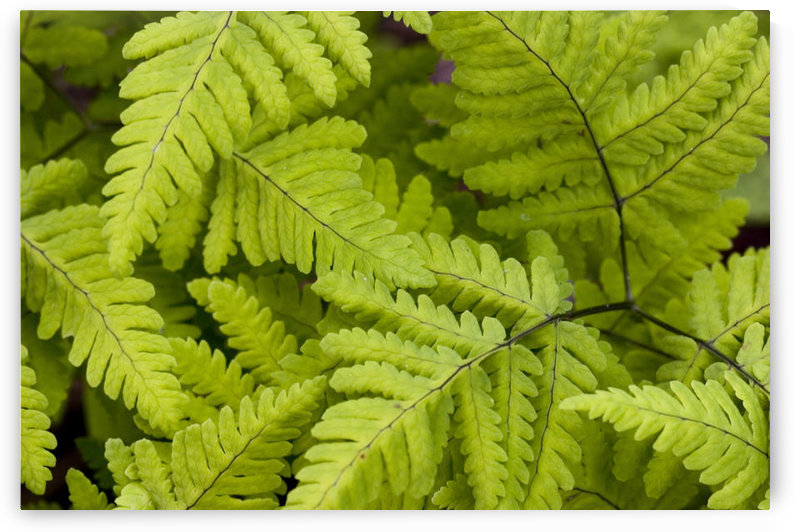 Close Up Of Ferns Growing On Forest Floor Near Six Mile Creek Kenai Peninsula Alaska Summer by PacificStock