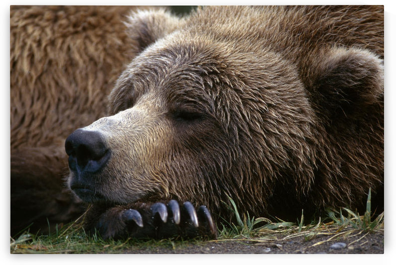 Brown Bear Resting Katmai Natl Park Southwest Alaska Summer Portrait by PacificStock