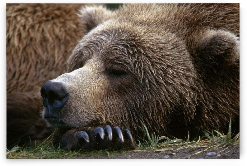 Brown Bear Resting Katmai Natl Park Southwest Alaska Summer Portrait by PacificStock