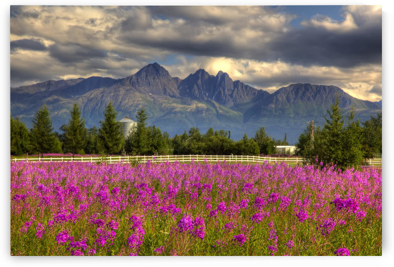 Scenic View Of Pioneer Peak With Fireweed In The Foreground, Palmer, Alaska, Hdr Image by PacificStock