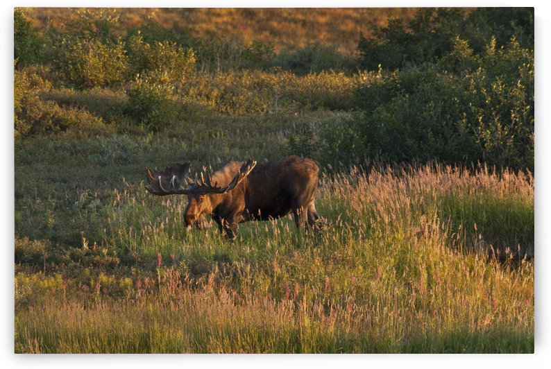 Bull Moose Stands On Fall-Colored Tundra At Sunset In Denali National Park, Interior Alaska, Autumn by PacificStock