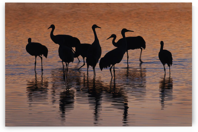Silhouette Of Sandhill Cranes Wading In A Resting Pond At Sunset In The Bosque Del Apache National Wildlife Refuge, New Mexico, Usa, Winter by PacificStock