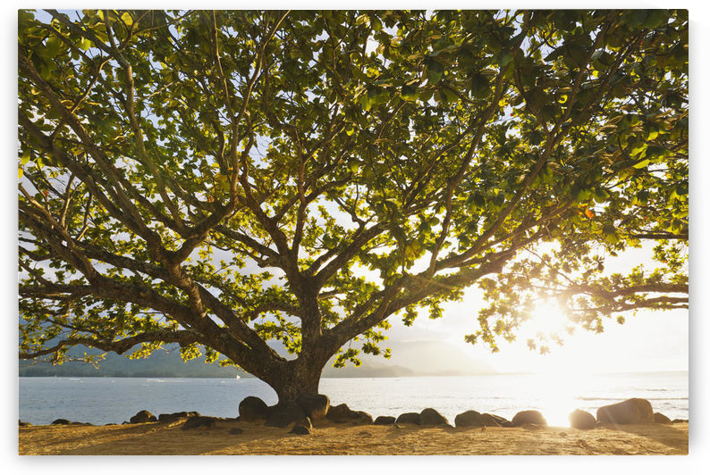Hawaii, Kauai, Hanalei Bay, Large tree on beach, Sun shining. by PacificStock