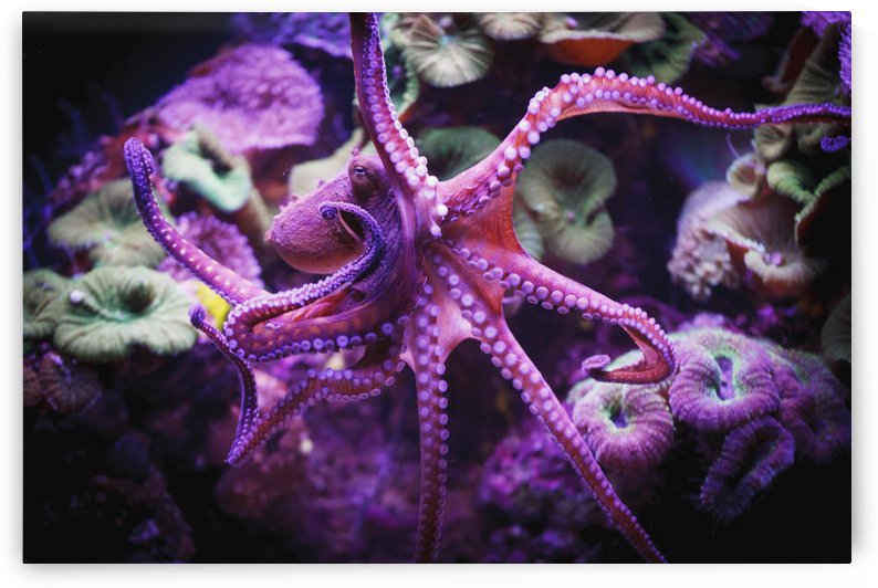 Octopus;Israel by PacificStock