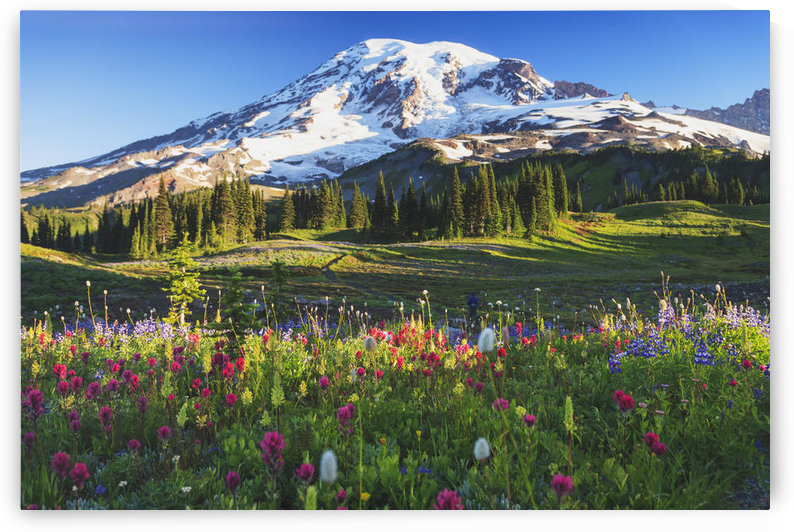 Mount rainier and wildflowers in a meadow mount rainier national park;Washington united states of america by PacificStock