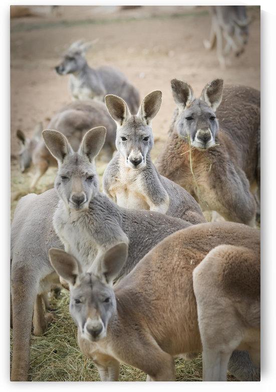 Kangaroos;Waga waga australia by PacificStock