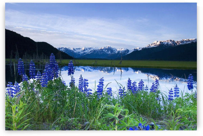 Lupine Blooms Along Pond 20-Mile River Valley Ak Sc Summer Chugach Mtns by PacificStock