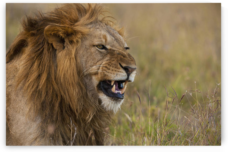 Kenya, Male lion snarling in Ol Pejeta Conservancy; Laikipia Country by PacificStock
