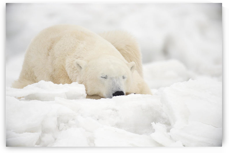 Polar Bear Sleeping In The Snow;Churchill Manitoba Canada by PacificStock