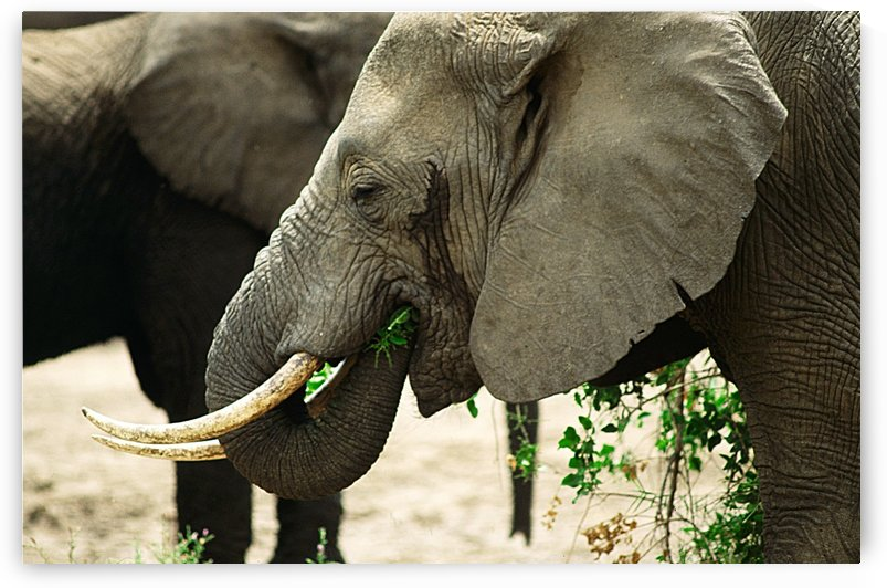 Elephant Grazing by Greene Safaris Productions