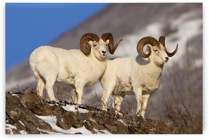 Two Full-Curl Ram Dall Sheep At Windy Point Area, Southcentral Alaska by PacificStock