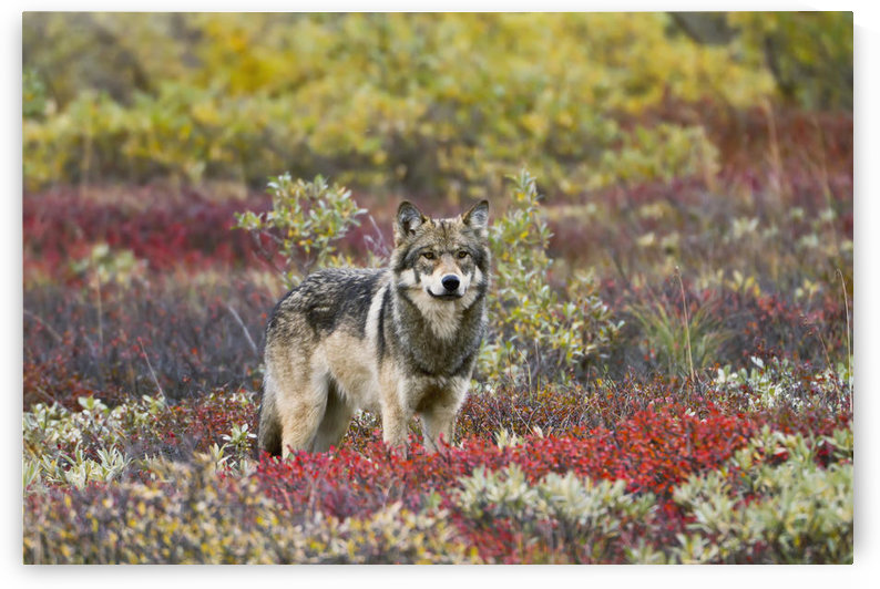 Gray Wolf (Canis Lupus) Walking Along Tundra Ridge Fall, Dwarf Birch (Betula Nana) Bright Red, Willows (Salix Sp.) Golden. Denali National Park, Interior Alaska, Usa. by PacificStock
