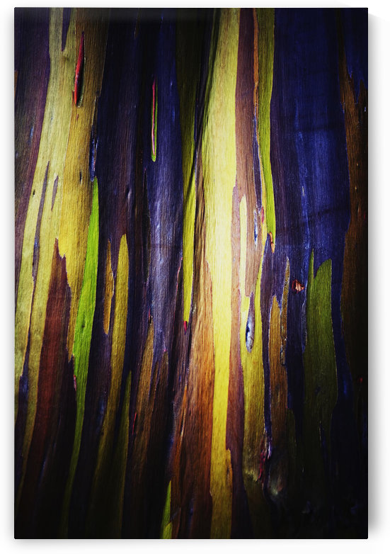 Colourful bark on the rainbow eucalyptus (eucalyptus deglupta) tree;Oahu, hawaii, united states of america by PacificStock