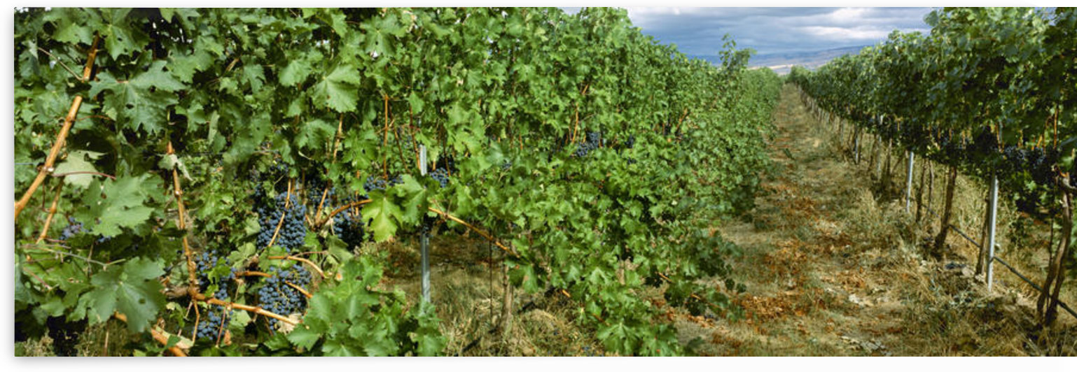 Agriculture - Vineyard of mature Cabernet Sauvignon wine grapes ready for harvest / Walla Walla County, Washington, USA. by PacificStock