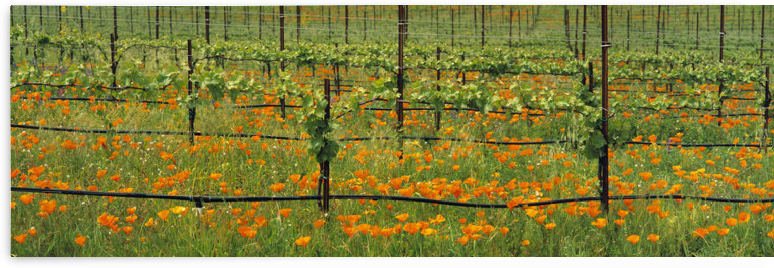 Agriculture - Wine grape vineyard in early Spring showing early foliage with poppies growing in the row middles / Santa Barbara County, California, USA. by PacificStock