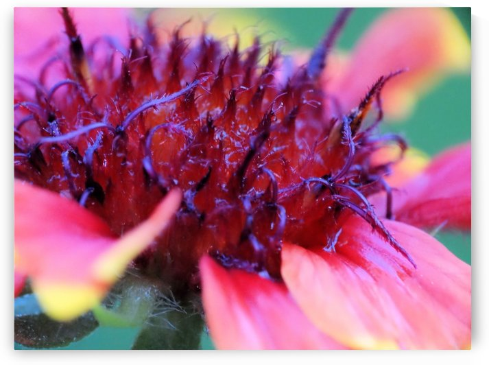 Sun Flower Macro by Illuminary Artworks
