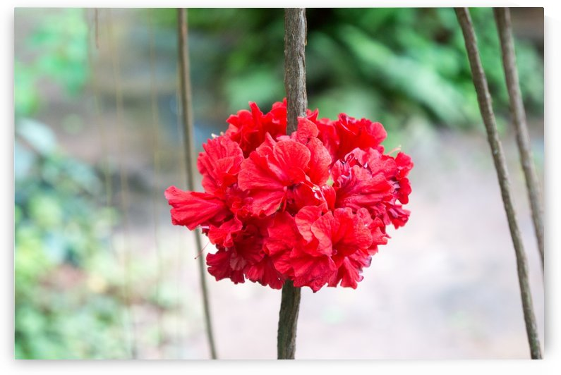 red blossom in a garden restaurant in chainat by Babett-s Bildergalerie