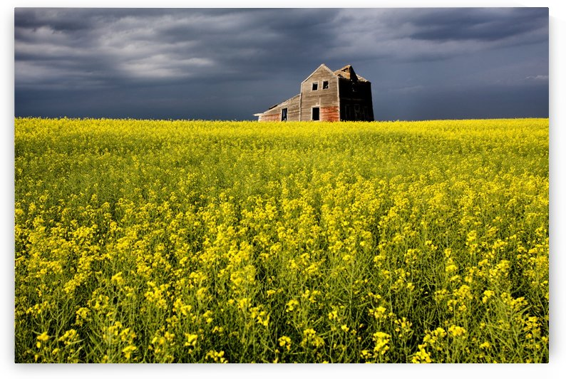Canola Field and Abandoned House by Mark Duffy
