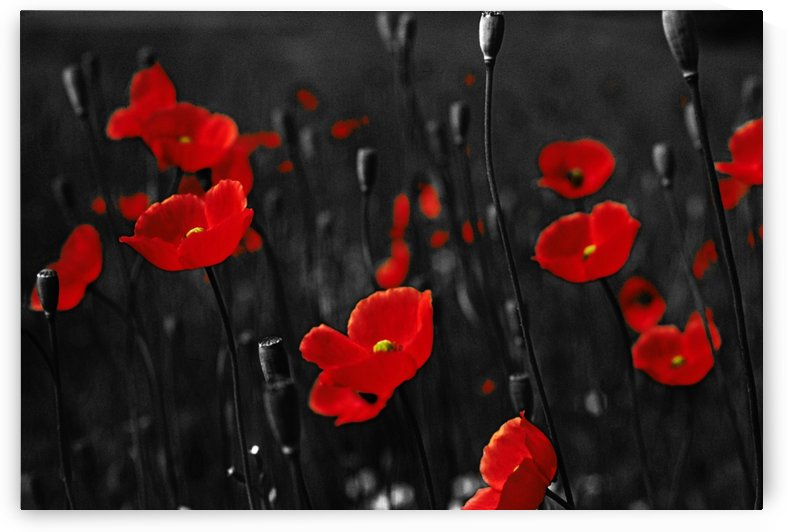 Popping Poppies  by Greene Safaris Productions